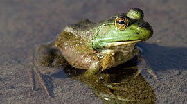 Bullfrog, Bustard Islands, Georgian Bay. Photo by Sean Tamblyn.