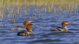 Merganser ducks, Key River, Georgian Bay. Photo by Sean Tamblyn.