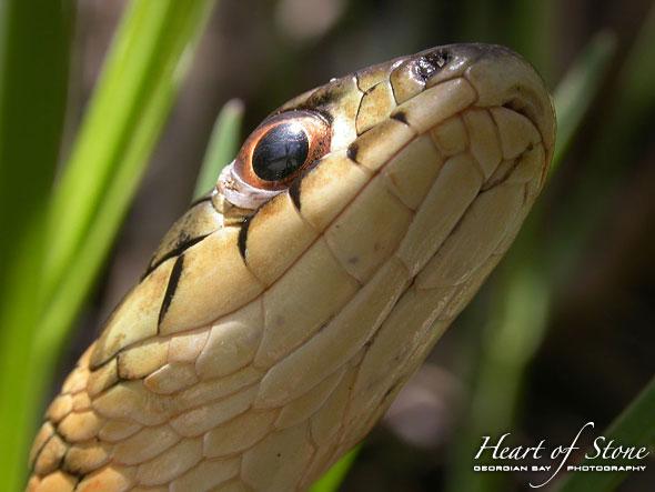 Garter Snake, Ward's Island, Toronto Islands. Photo by Sean Tamblyn.