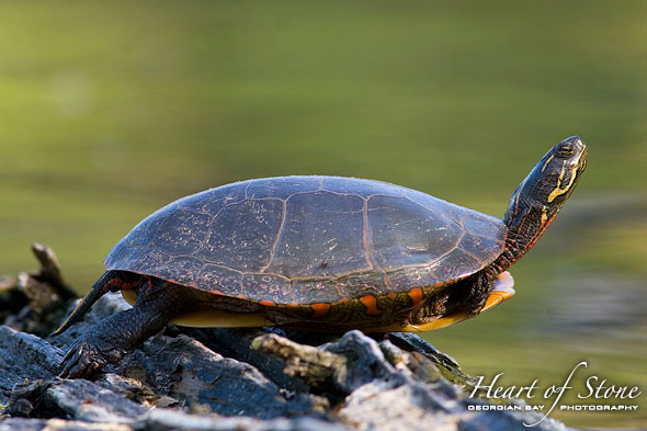 Painted turtle, Centre Island, Toronto Islands