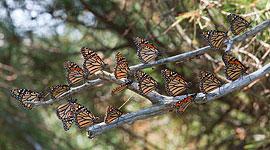 Monarch Butterflies, Mink Islands, Georgian Bay. Photo by Sean Tamblyn.
