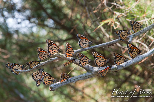 Monarch Butterflies, Mink Islands, Georgian Bay. Photo by Sean Tamblyn.