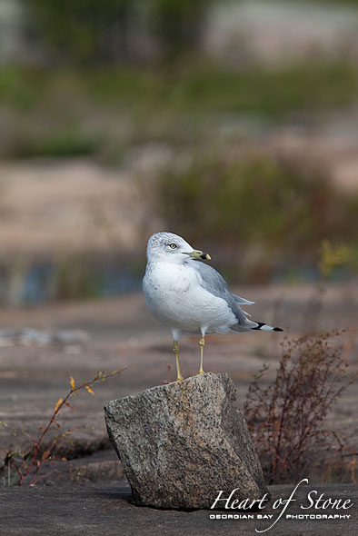 Ringbilled gull, Big McCoy Island, Georgian Bay