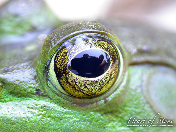 Bullfrog Eye, Massassauga Provincial Park, Georgian Bay. Photo by Sean Tamblyn.