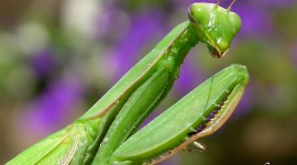 Praying Mantis, Massassauga Provincial Park, Georgian Bay. Photo by Sean Tamblyn.