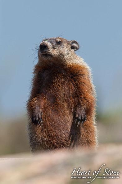 Standing groundhog, Byng Inlet, Georgian Bay
