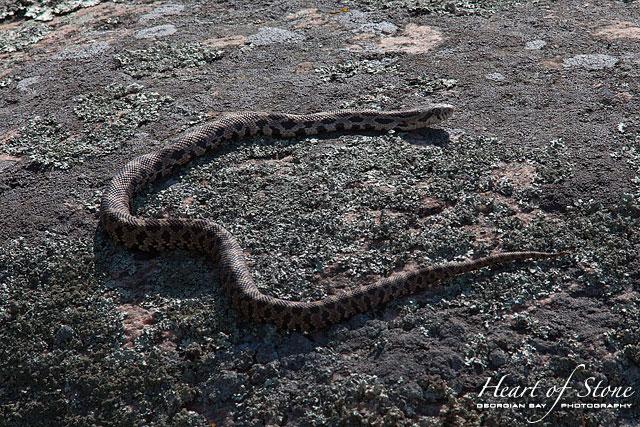 Basking eastern fox snake, Big McCoy Island, Georgian Bay