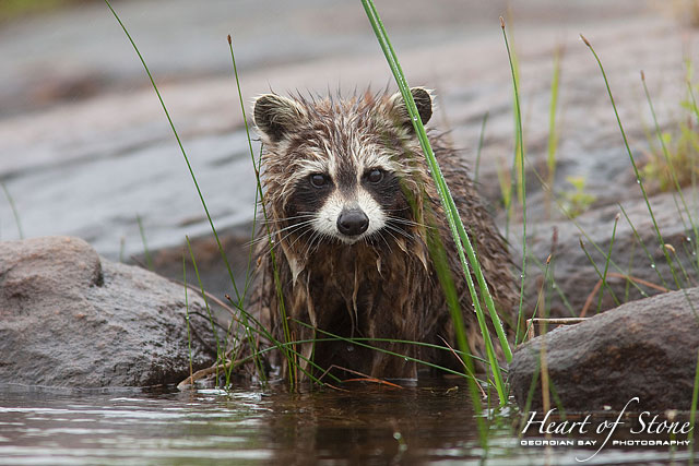 Wet raccoon, Naiscoot River, Georgian Bay