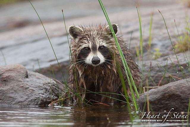 Wet raccoon, Naiscoot River, Georgian Bay