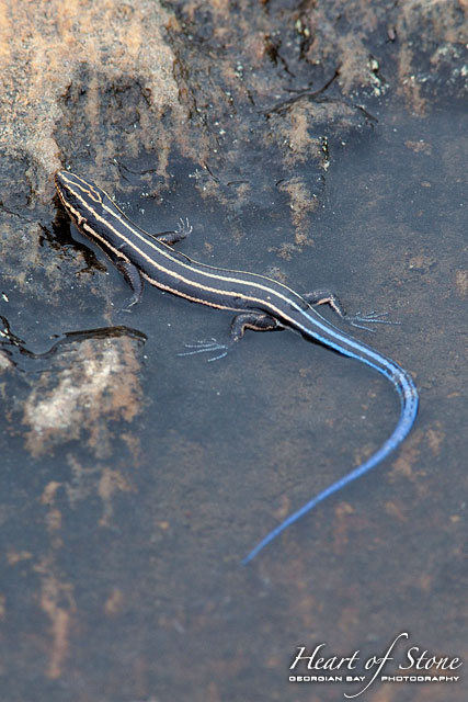 Five-lined skink, Norgate Inlet, Georgian Bay