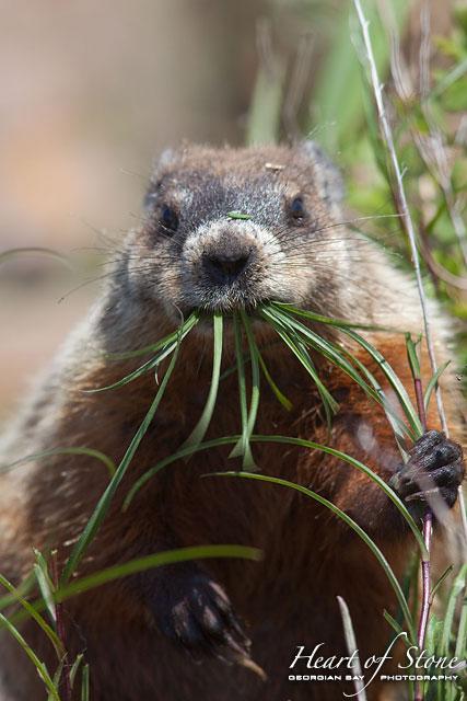 Feeding Groundhog, Byng Inlet, Georgian Bay