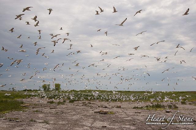 Ring-billed gull colony, North Limestone Island, Georgian Bay