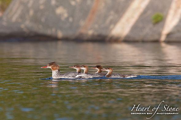 Merganzer and ducklings, Bustard Islands, Georgian Bay