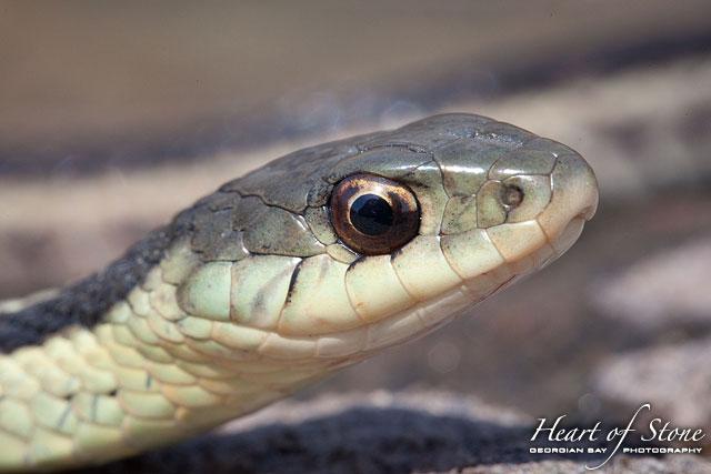 Garter snake portrait, Bustard Islands, Georgian Bay