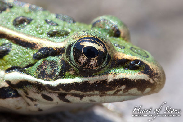 Leopard Frog Portrait, Bustard Islands, Georgian Bay