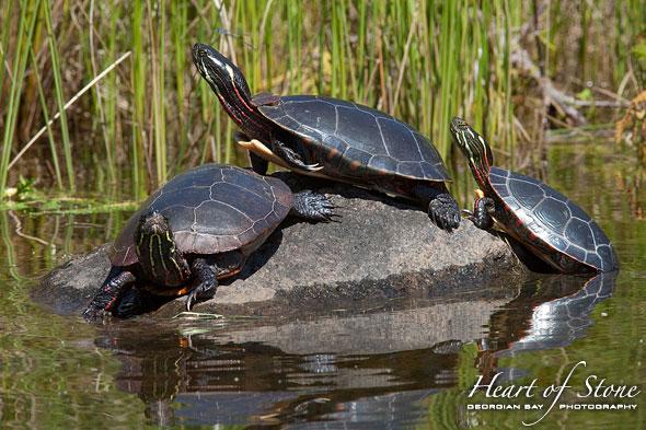 Three painted turtles, Bottle Island, Georgian Bay