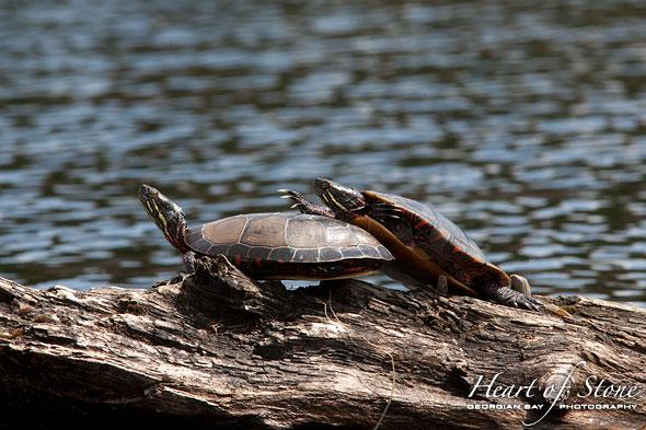 Sneaky painted turtle, Cross Channel, Georgian Bay