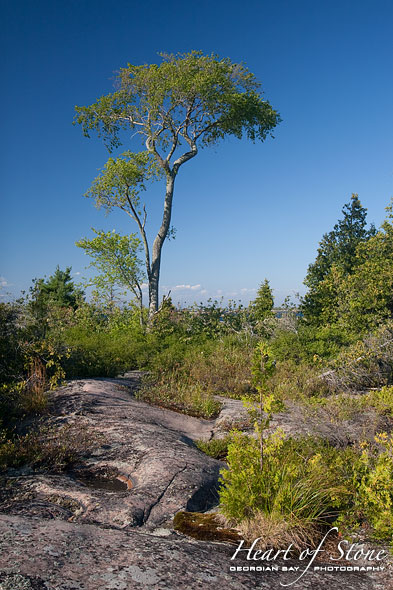 Lone deciduous tree, One Tree Island, Georgian Bay