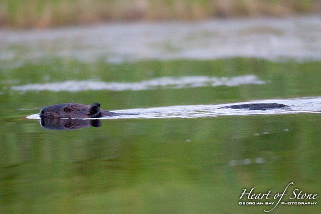 Swimming twilight beaver, Bad River Channel, Georgian Bay