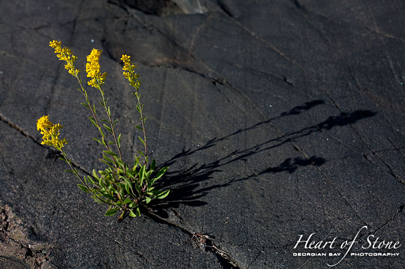 Morning light on yellow flowers, Churchill Islands, Georgian Bay
