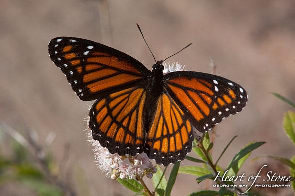 Monarch Butterfly, Churchill Islands, Georgian Bay