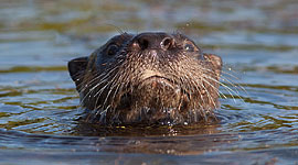 River otter, Beausoleil Island, Georgian Bay