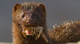 Mink with crayfish, West Fox Islands, Georgian Bay