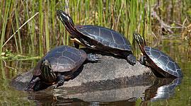 Painted turtles basking on rock, Bottle Island, Georgian Bay