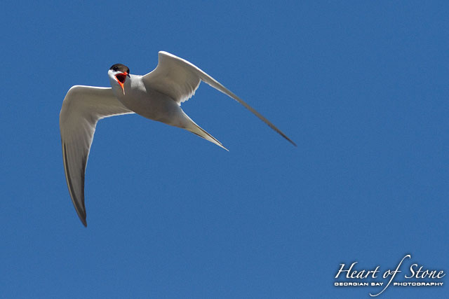 Common tern in flight, Sans Souci, Georgian Bay