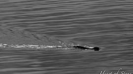 Swimming Mink, Philip Edward Island, Georgian Bay
