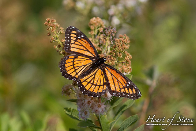 Monarch butterfly, Chicken Liver Channel, Georgian Bay