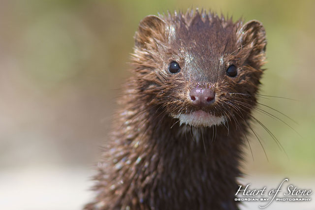 American Mink, Chicken Liver Channel, Georgian Bay