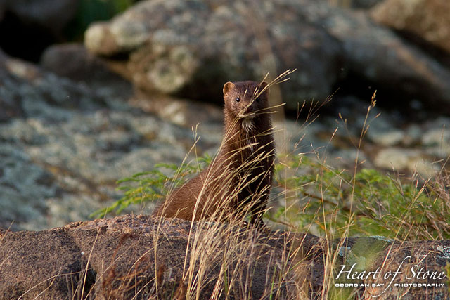 Mink among the grasses, Chicken Liver Channel, Georgian Bay
