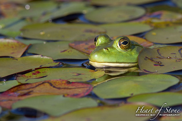 Frog in lily pads, Chicken Liver Channel, Georgian Bay