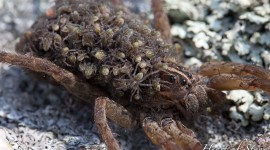 Wolf spider with babies, Snake Islands, Georgian Bay