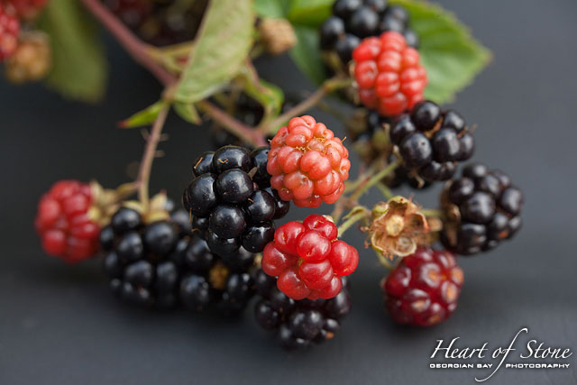 Blackberries in season, Chicken Liver Channel, Georgian Bay