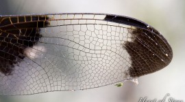 Dragonfly wing details, Umbrella Islands, Georgian Bay