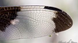 Dragonfly wing details, Umbrella Islands, Georgian Bay