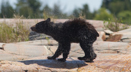 Bear cub shaking off water, Bustard Islands, Georgian Bay