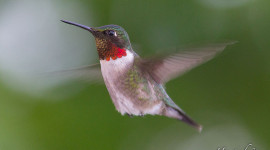 Ruby-throated hummingbird, Sans Souci, Georgian Bay