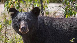 Large black bear, Churchill Islands, Georgian Bay