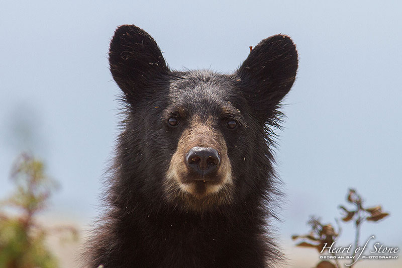 Close black bear portrait, Dead Island, Georgian Bay