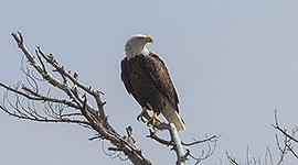 Perched bald eagle, Outer Fox Islands, Georgian Bay