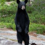 Black bear standing on hind legs, Rogers Island, Georgian Bay