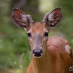 Deer portrait, Big McCoy Island, Georgian Bay