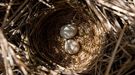 Eggs in nest, Bottle Island, Georgian Bay. Photo by Sean Tamblyn.