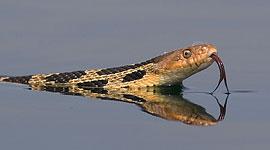 Eastern fox snake, Jones Island, Georgian Bay. Photo by Sean Tamblyn.