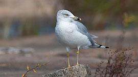 Ringbilled gull, Big McCoy Island, Georgian Bay
