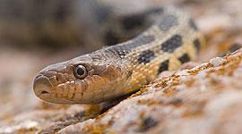 Eastern Fox Snake, Sans Souci, Georgian Bay. Photo by Sean Tamblyn.