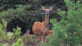 Deer and two fauns, Big McCoy Island, Georgian Bay